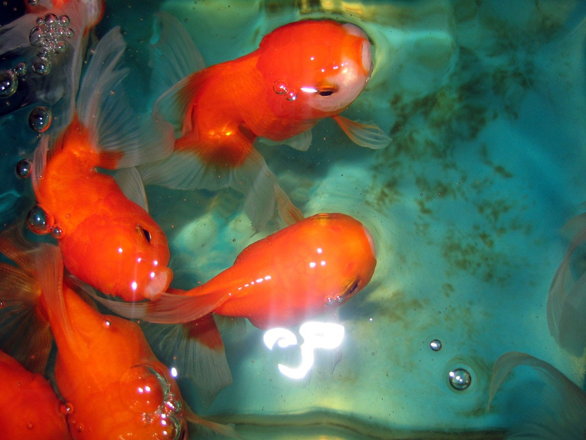Tierfotos Goldfish by Emmanuelle Wood